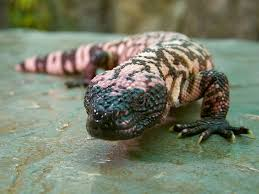 gila monster wallpaper picture animals town