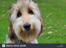 afghan hound afghan hound 6 month old stock photo royalty free image