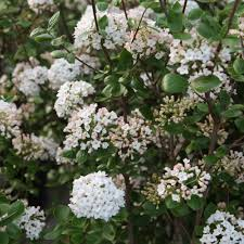 evergreen scented shrubs at thompson morgan