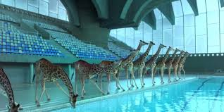 giraffes dominate the high dive in this mesmerizing animated short