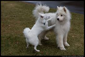 how big is american eskimo dog photograph by philip greenspun alex and american eskimo 3