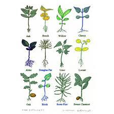 frank tree saplings miniprint