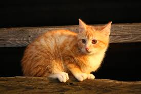 free picture cat cute pet animal kitten young feline kitty
