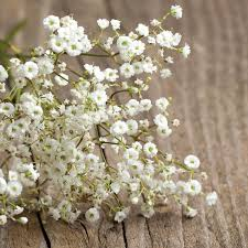 babys breath baby s breath covent garden seed bentley seeds
