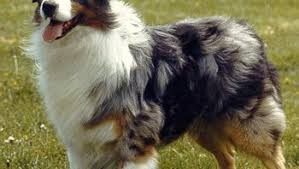 australian shepherd traits australian shepherd traits archives pet circkles club