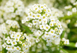 alyssum flowers growing and caring for sweet alyssum plants