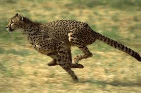 cheetah vs leopard know the differences and similarities