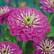 Zinnia Flowers Zinnia At Thompson Morgan