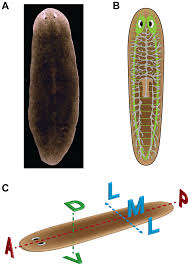 Anatomy And Physiology Of The Brain Modeling Planarian Regeneration A Primer For Reverse Engineering