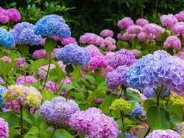 Hydrangea Flowers With Some Care Hydrangeas Can Be The Most Beautiful Flower In Your