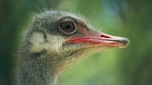 ostrich closeup ngsversion 1396531029306 adapt 1900 1 jpg