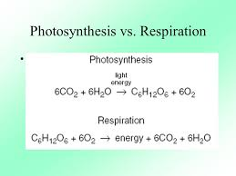 Photosynthesis And Cellular Respiration Worksheet Write The Chemical Equations For Photosynthesis And Respiration