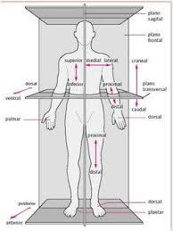 Planes And Anatomical Directions Worksheet Answers Free Diagrams Human Diagram Showing The Chief Terms Of