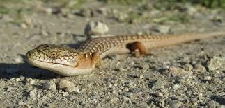Seeking Lizard Review Zea Squamata Cave Gulch Review