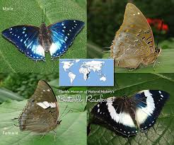 Blue And Green Butterfly - id guide blue butterflies exhibits