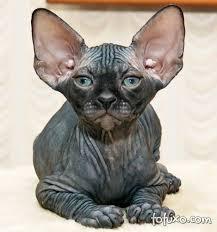 Famosos Sphynx - Raças de Gatos &LB12