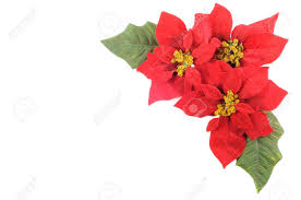 christmas flower poinsettia with leafs on a white background stock