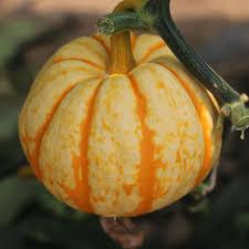 8 orange pumpkin seeds easy to grow ornamental vegetables and