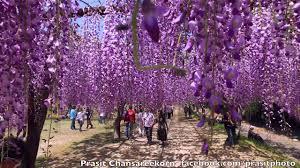 100 Wisteria Flower Tunnel 10 Breathtaking Tree Canopies