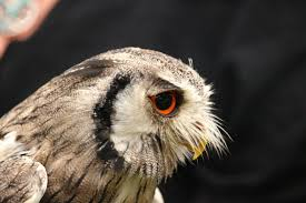 free images wing wildlife beak fauna raptor bird of prey
