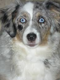 south dakota australian shepherd rescue kicks and giggles mini aussies quailty breeder of miniature and