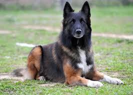 belgian shepherd stomach cancer belgian tervuren u2013 disease predispositions pedigree dog health