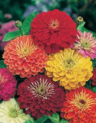zinnia flower 163 beautiful types of flowers a to z with pictures zinnias