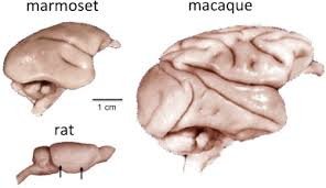 Anatomy Of Rat Brain The Marmoset Monkey As A Model For Visual Neuroscience Sciencedirect