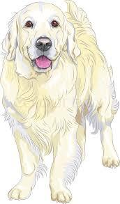 vector sketch yellow gun dog breed labrador retriever stock