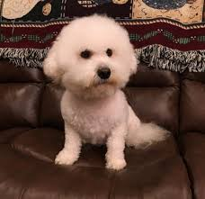 bichon frise 2015 calendar puppies available u0026 upcoming litters