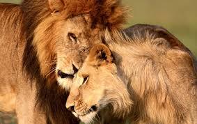 imagenes de leones salvajes gratis leones acariciando fondos de pantalla leones acariciando fotos gratis