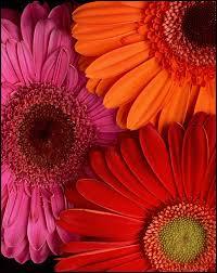 Gerbera Daisies Picture Pink Red And Orange Gerbera Dasies