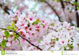 flowering cherry blossom tree stock photo image of plant