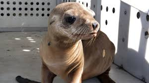 lions for sale 5 000 reward offered for baby sea lion stolen from los angeles