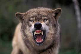 Angry Wolf Meme - wolf howl study suggests behavior helps animals keep in touch