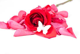 free roses with butterfly on white stock photos stock photo