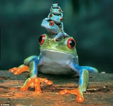 hop on up eyed tree frog carries three offspring on