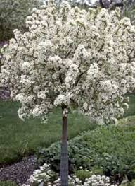 tree with white flowers crabapple lollipop small ornamental tree out doorsie