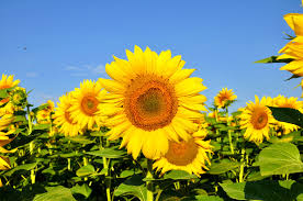global sunflower seed production declines agriorbit