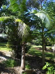 low maintenance palms palms online australia