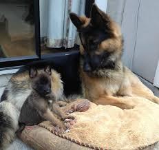 belgian shepherd ear problems introducing my malinois gsd pup to my 95 lb german shepherd aww