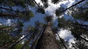 trees talk canada u0027s boreal forest thriving social