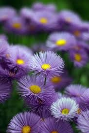 24 best aster asteraceae images on pinterest daisy aster