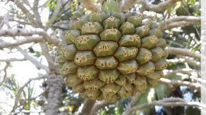Palm Trees Fruit - meet the pine tree from madagascar pandanus utilis youtube