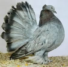 best 25 pigeon breeds ideas on pigeon pigeon bird