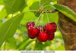 cherry tree stock images royalty free images vectors