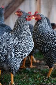 Backyard Chicken Breeds by 198 Best Backyard Chickens Images On Pinterest Backyard Chickens