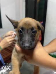 belgian malinois jet black quality belgian malinois for sale philippines find new and used