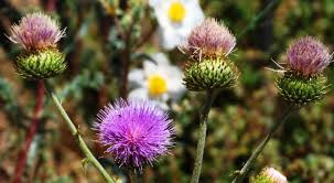 native san diego plants san diego county native wildflowers