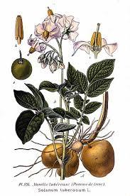 pomme de si e social pomme de terre wikipédia